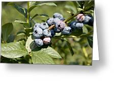 Blueberries On Blueberry Bush Greeting Card