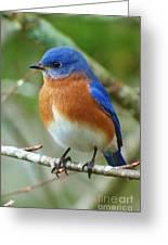 Bluebird On Branch Greeting Card