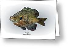 Bluegill Greeting Card by Ralph Martens