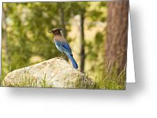 Bluejay Pondering Greeting Card