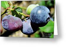 Blues In The Florida Berries Greeting Card