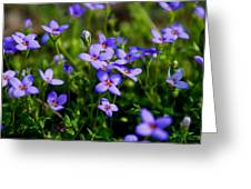 Bluets Greeting Card