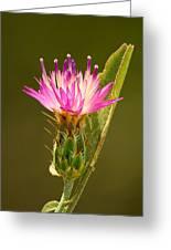 Blush Centaury-thistle Greeting Card