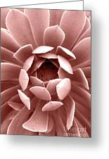 Blush Pink Succulent Plant, Cactus Close Up Greeting Card