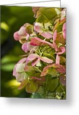 Blushing Hydrangea Greeting Card