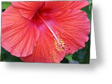 Blushing Stamen Greeting Card