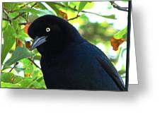 Boat Tailed Grackle Close Up Greeting Card