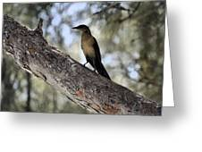 Boat - Tailed Grackle  Greeting Card