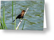 Boat Tailed Grackle Female Greeting Card