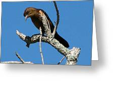 Boat Tailed Grackle Greeting Card