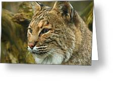Bobcat Greeting Card by Dick Wood