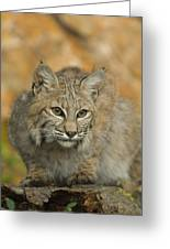 Bobcat Felis Rufus Greeting Card by Grambo Photography and Design Inc.