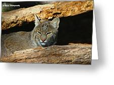 Bobcat Hiding In A Log Greeting Card