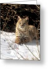 Bobcat In The Snow. Greeting Card