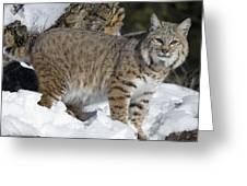 Bobcat Lynx Rufus In The Snow Greeting Card