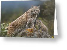 Bobcat Mother And Kittens North America Greeting Card