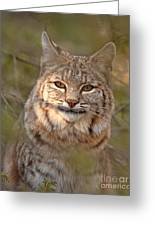 Bobcat Portrait Surrounded By Pine Greeting Card