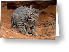 Bobcat Ready--and Willin' Greeting Card