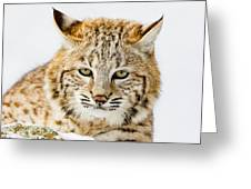 Bobcat Stare Greeting Card