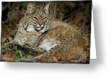 Bobcat Warming In The Autumn Sun Greeting Card