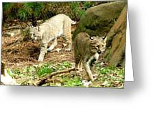 Bobcats Begin To Hunt Greeting Card