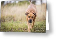 Boerboel Dog Greeting Card