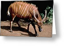 Bongo In Kenya Greeting Card