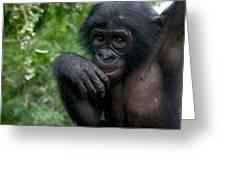 Bonobo Pan Paniscus Juvenile Orphan Greeting Card