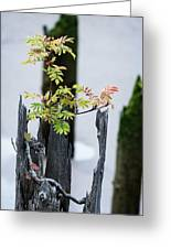 Bonsai Mountain-ash Greeting Card