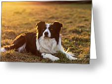 Border Collie At Sunset With Warm Colors Greeting Card