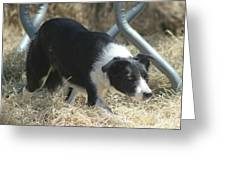 Border Collie At Work Greeting Card