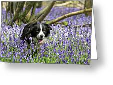 Border Collie In Bluebells Uk Greeting Card