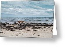 Borzoi Dog Stalking Alnmouth Beach Greeting Card
