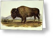 Bos Americanus, American Bison Greeting Card