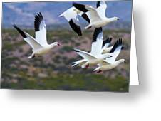 Bosque Snow Geese Flyover Greeting Card