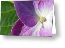 Boston Hydrangea Greeting Card