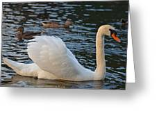 Boston Public Garden Swan Amongst The Ducks Ruffled Feathers Greeting Card
