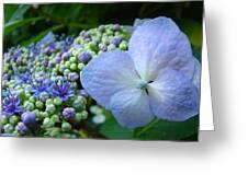Botanical Garden Blue Hydrangea Flowers Baslee Troutman Greeting Card