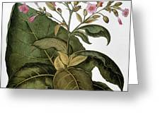 Botany: Tobacco Plant Greeting Card