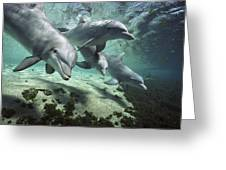Four Bottlenose Dolphins Hawaii Greeting Card by Flip Nicklin