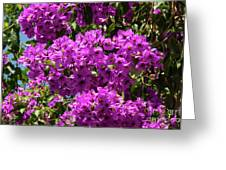 Bougainvillea Blooms Greeting Card