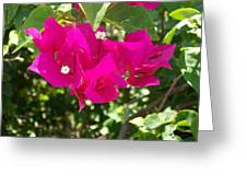 Bougainvillea Boogey Greeting Card
