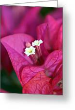 Bougainvillea Burst Greeting Card