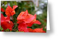 Bougainvillea Glow Greeting Card