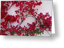 Bougainvillea Of Cascais, Portugal Greeting Card