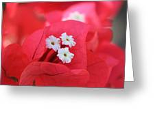 Bougainvilleas And White Greeting Card