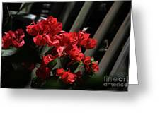 Bougainvilleas Greeting Card