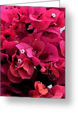 Bougainvillia Greeting Card