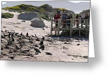Boulders Beach Penguins Greeting Card