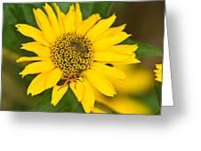 Box Elder Bug On False Sunflower Greeting Card